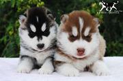 Питомник предлагает щенков Сибирского Хаски,  возможна рассрочка